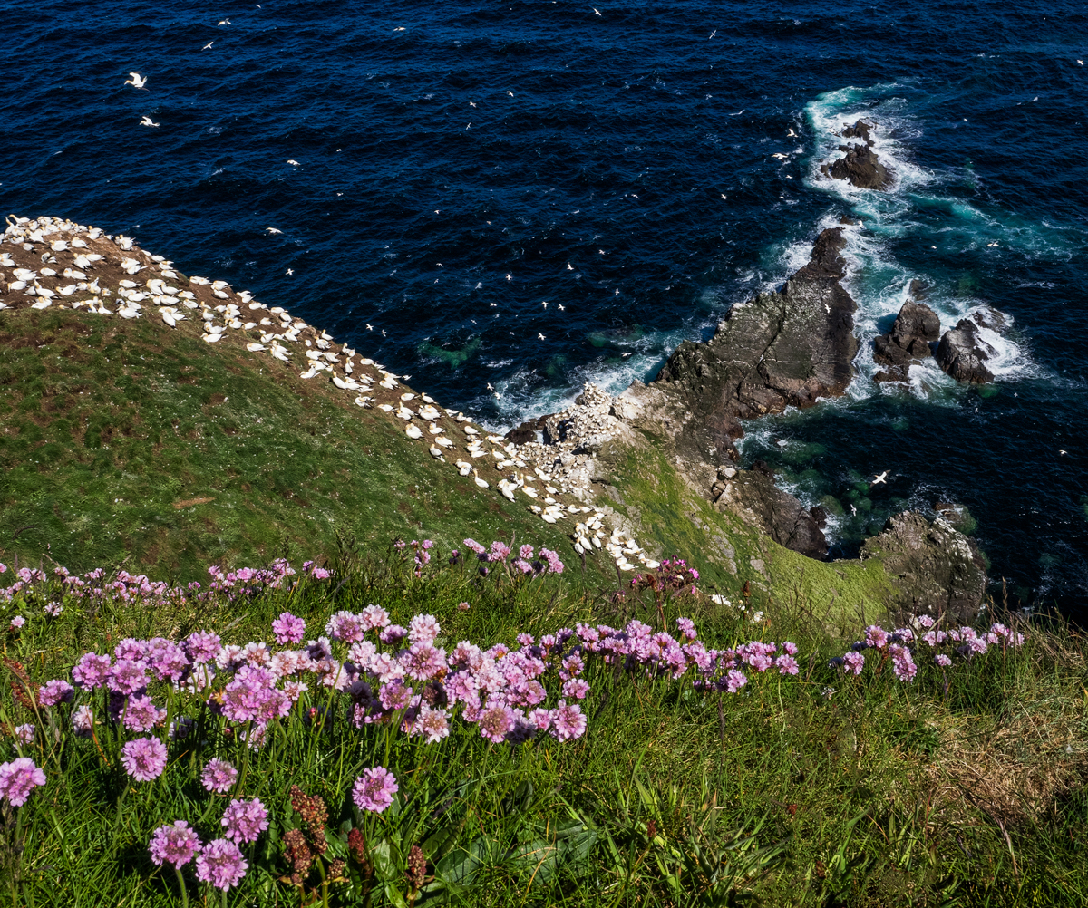 Gannets and Sea Pinks