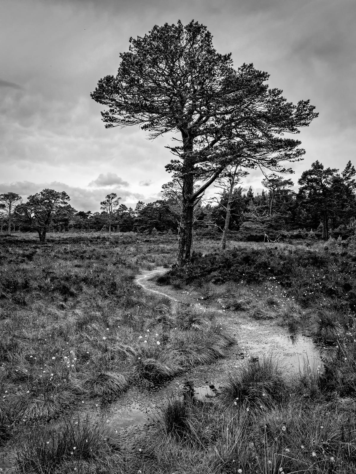 Caledonian Scots Pine