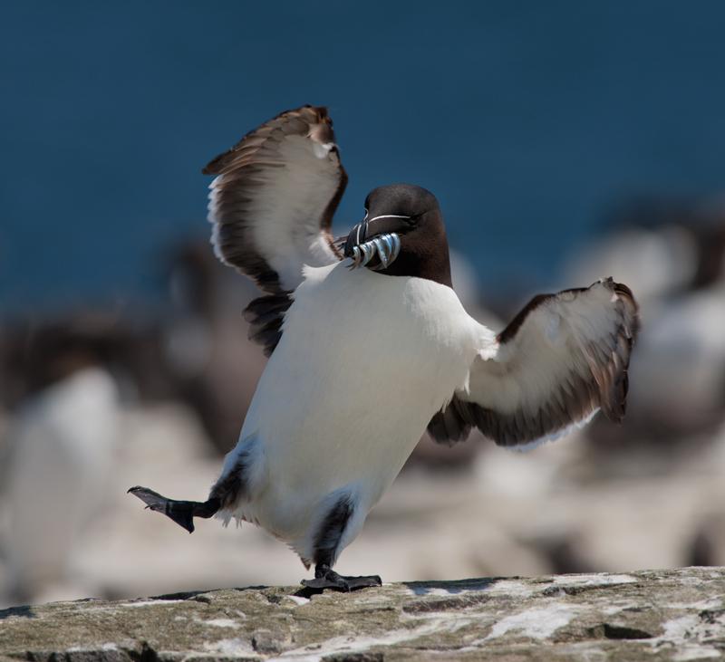 Dancing Razorbill