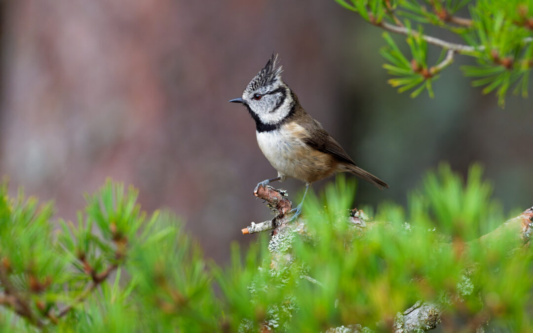 Crested Tit Gallery